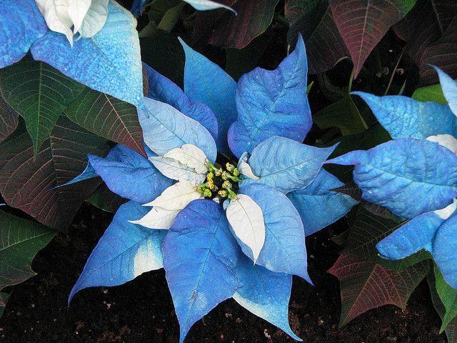 Blue Poinsettia Plant | 2147383795_354ae53da7_z.jpg ...