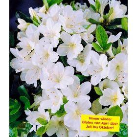 PN3552 Pflanzen - Baum & Strauch - Rhododendron & Azaleen - Durchblühende Azalee 'Bloom-A-Thon®' weiß,1 Pflanze