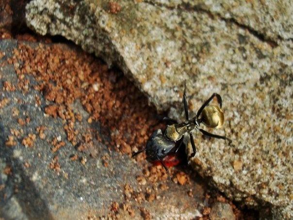 hormiga dorada