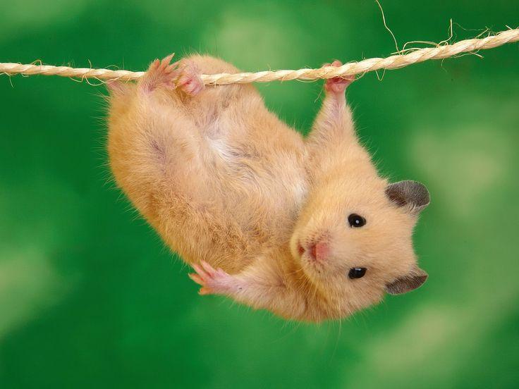 ロープにぶら下がるハムスタ
