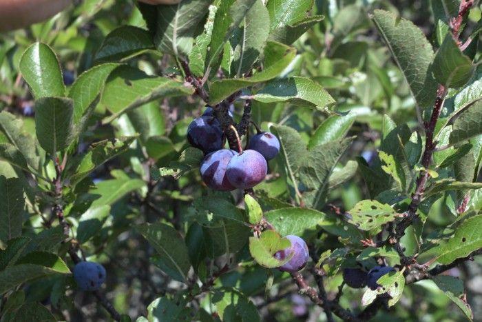 ripe beach plums: Gardenista
