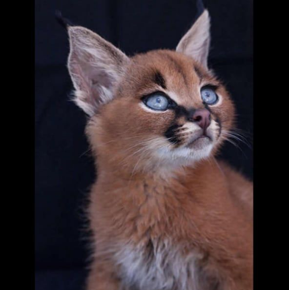 cool The Cutest Species Of Cat Has Finally Been Found