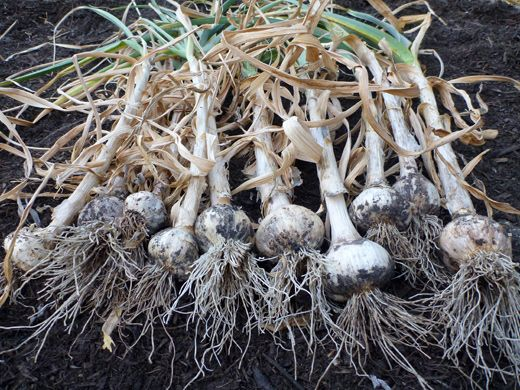 The Trick of Knowing When to Harvest Garlic