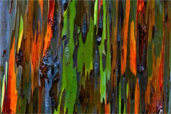 """Eucalyptus deglupta é uma espécie de árvore bem singular. Esses eucaliptos não são obra de algum modernista que mescle arte e natureza, são árvores da família Myrtaceae e crescem livremente em algumas partes do globo terrestre. São obras de arte da própria natureza.  Seu nome científico, proveniente do latim, significa """"eucalipto que perde a casca"""", o que é exatamente o processo que resulta na belíssima visão representada na figura acima.  À medida que a espécie vai perdendo pedaços da casca…"""
