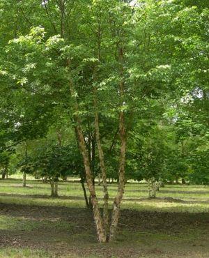 meerstammige-bomen-betula-nigra