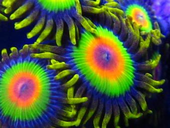 Coral - Zoanthids