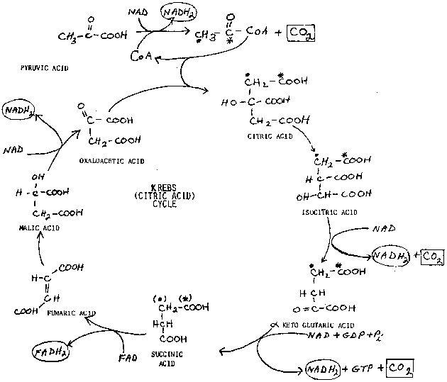17 best krebs cycle citric acid cycle images on pinterest ap biology biology lessons and. Black Bedroom Furniture Sets. Home Design Ideas