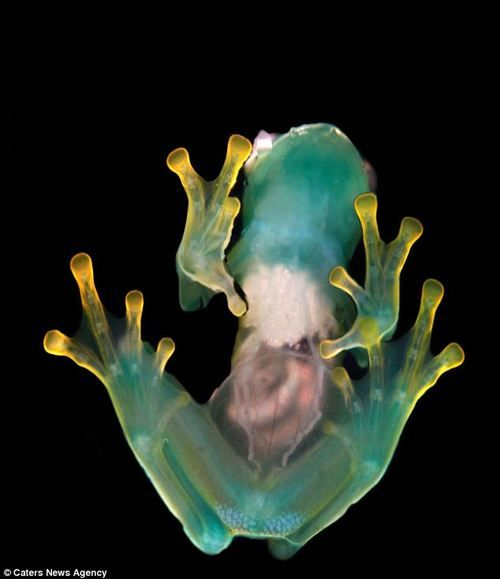 Condor Glass Frog (Centrolene condor).  The astonishing transparent frogs of Costa Rica's cloud forest.