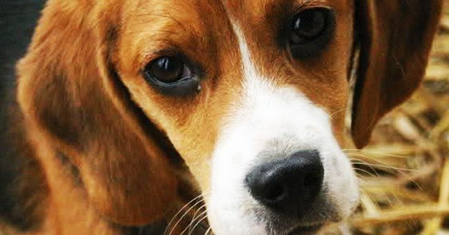 Mamma Beagle abbandonata sulla spiaggia di Porto Ferro (SS) salvata con i suoi cuccioli grazie all'intervento della LNDC di Alghero.
