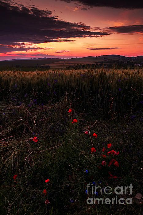 poppy flowers in Neamt county, Romania.