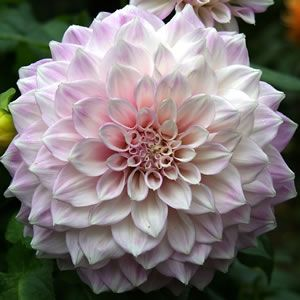 Dahlia hybrid Delicate pink petals with white edges Large striking flowers that are up to 30cm across (the size of a dinner plate), these beauties will certainly put on a brilliant show in your garden. These amazing flowers usually take 120 days to bloom once planted. Prefers a full sun t...