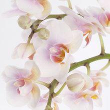 Wallpaper orchidee weiß  Die besten 25+ Fototapete orchidee Ideen auf Pinterest   E hoi ...