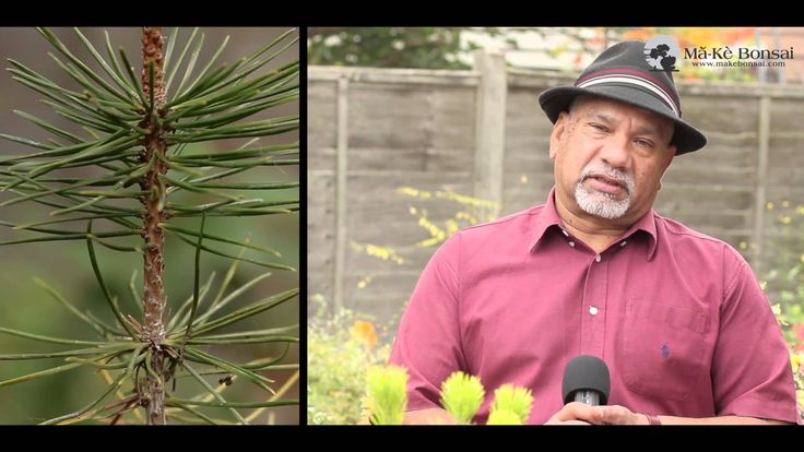 81) How to care Japanese Black Pine - Bonsai trees for Beginners Series