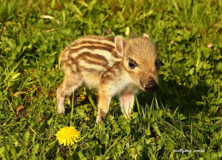 Cute Wildschweine oder auch Schwarzwild sind im Wild und Freizeitpark Allensbach ein beliebtes Fotomotiv Die Wildschweinrotte lebt in einem gro en Freigehege