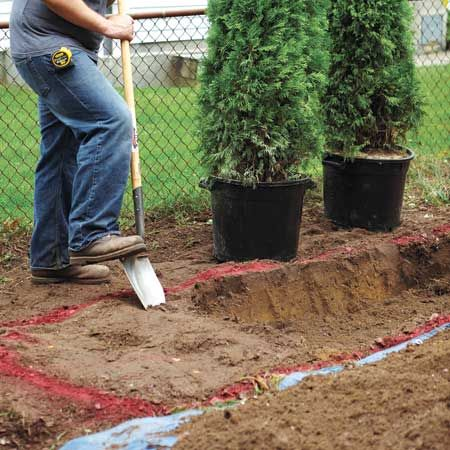 Arborvitae (Thuja occidentalis)  - mature width, plant 3 to 4 feet apart. Measure the height and width of the largest root ball. Then use spray paint to mark out a trench that is two to three times wider and 2 inches shallower than the root ball.