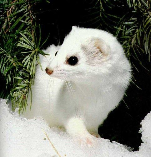 Surprenant ! Des Animaux Albinos - Une Fouine