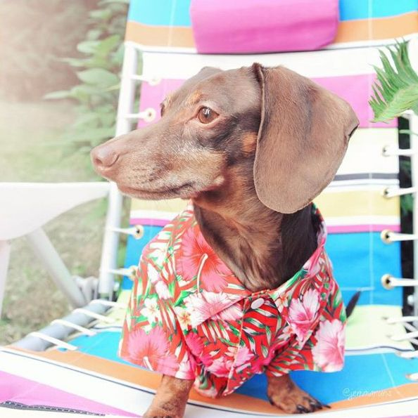 Dachshund Clothes That Actually Fit Dog Trends Dachshund