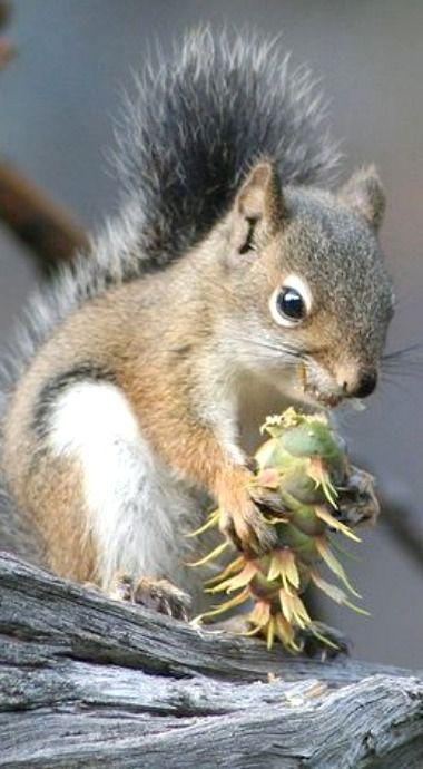 Golden Mantled Ground Squirrel by asparks306, via Flickr