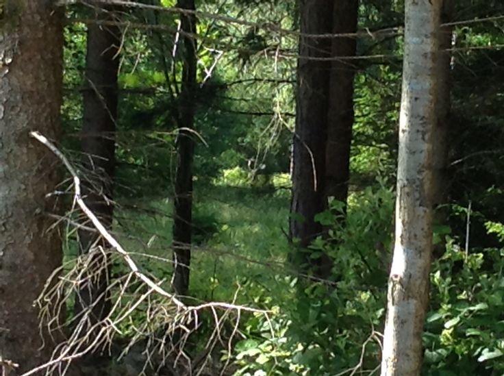 Naturens konung älgen kan ses under en skogspromenad.