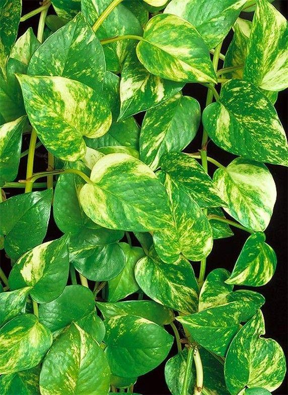 Pothos Epipremnum Aureum Plantas Hermosas Cultivo De Trepadoras Arbustos