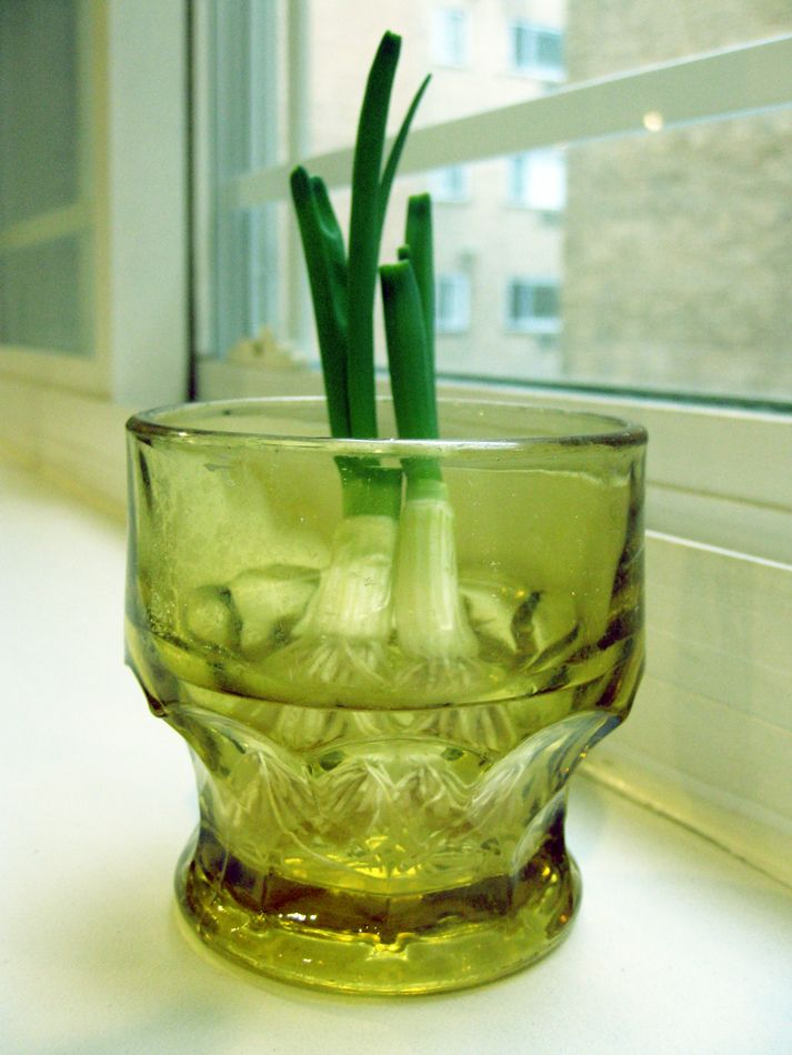 Regrowing Green OnionJoy Favorite, Helpful Ideas, Regrow Green Onions, Gardens Inspiration, Did You Know, Favorite Recipe, When Green Onions, Easily Regrow, Indirect Sunlight