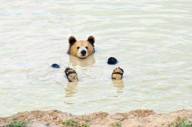 水にぷっかり浮かんでぼ~……お風呂に浸かったオッサンみたいなクマさんが激写される - Peachy(ピーチィ) - ライブドアニュース