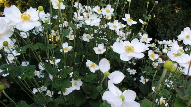 """2016 Perennial Plant of the Year You heard it here first: The Perennial Plant Association has named Anemone """"Honorine Jobert""""as Perennial Plant of 2016. This year's honoree is a 3- to 4-foot-tall, wo"""