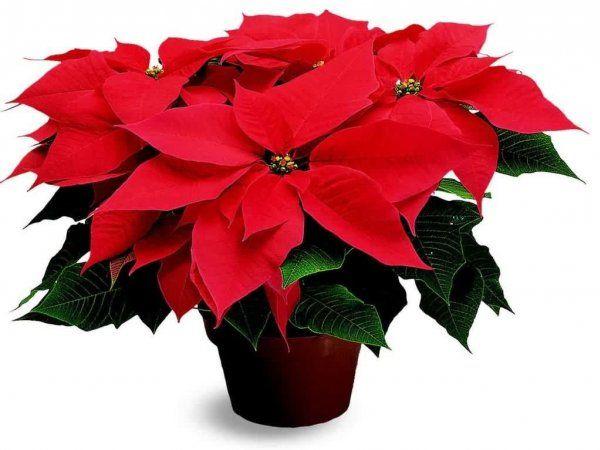 Красные листья рождественника настолько красивы, что сложно поверить в их естественность