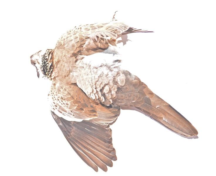 Dead dove I