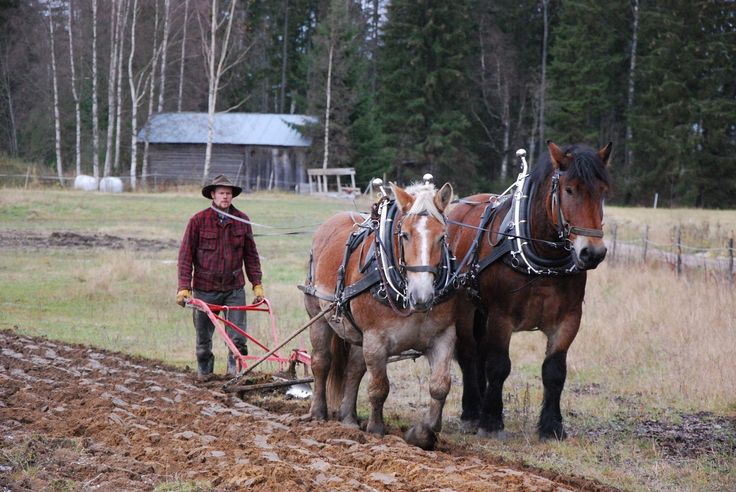 Professional horse logger Miika Åfelt ploughing with Swedish Ardennais Terttu and Tarsan. Finland. www.tyohevoset.fi