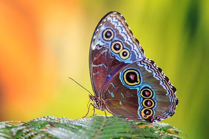 Blauwe vlinder Morpho close up