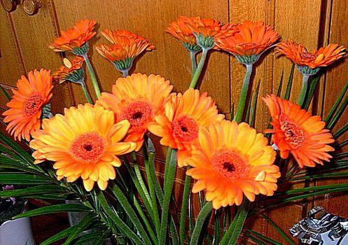 oranžové gerbery (88 pieces)