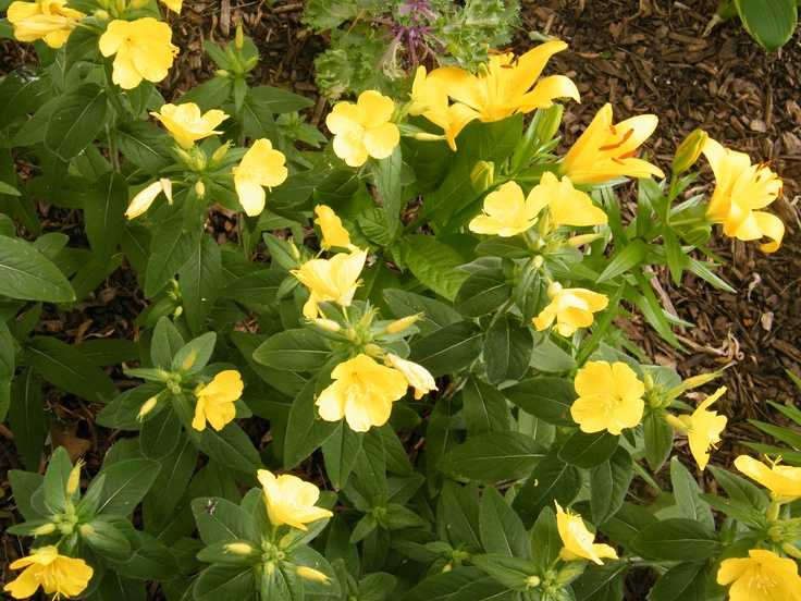 39 best long blooming perennial flower images on pinterest my yellow flower patch mightylinksfo