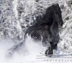 fríský kůň -