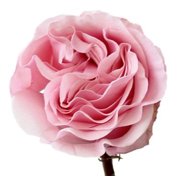 FiftyFlowers.com - Pink Swirl Wholesale Rose