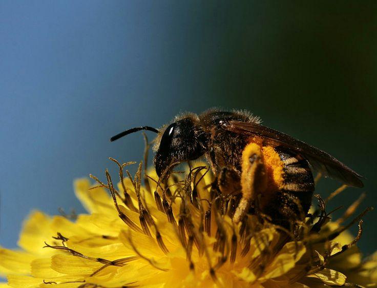 Ape ricca di polline
