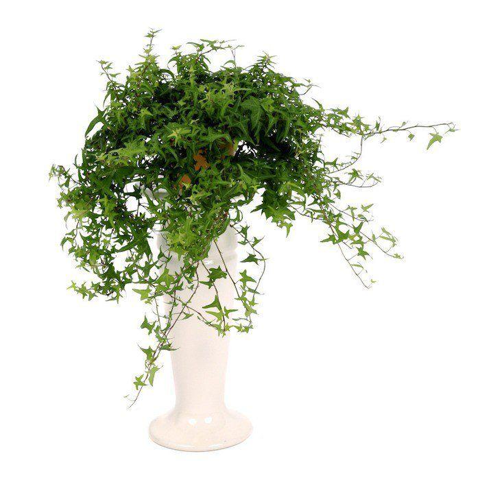 Le lierre une plante assainissante contre monoxyde de carbone