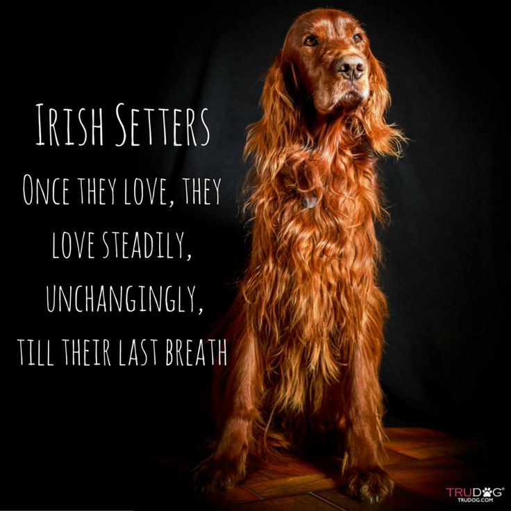 Irish Setter love