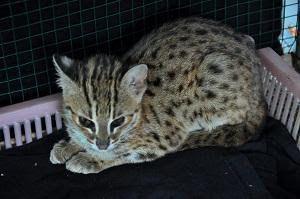 Is Asian Leopard Cat Indonesian Purebred?  #EnglishDialogue #EnglishForBusiness #EnglishSpeaking #Hobby #RolePlay #SpokenEnglish #EnglishConversation