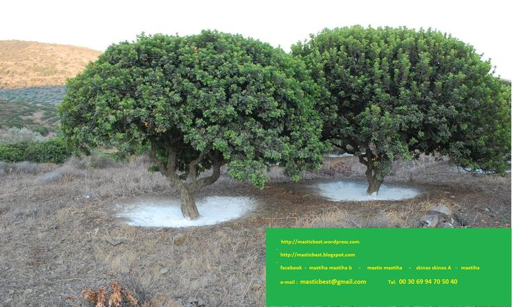 Chios, Greece is home to the Mastic Tree, practically magical masticbest.wordpress.com