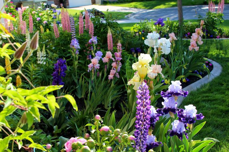 "Tall Bearded Irises  (front to back, counter clockwise) ""GLOBAL CROSSING,"" ""GOOD HOPE,"" ""LACY DAY,"" ""PURPLE RITZ,"" ""POND LILY,"" ""MARY FRANCI..."