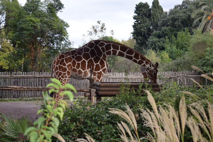 Giraffe at the zoo garden in Italy Rome (With images