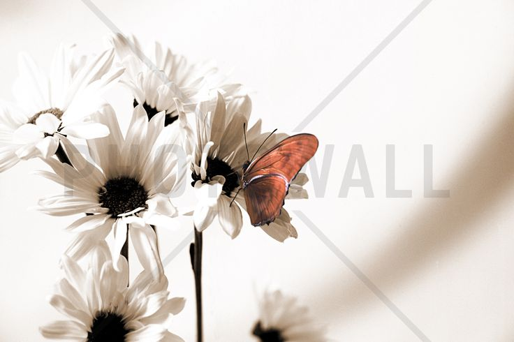 Julia Butterfly - Sepia Red - Fototapeter & Tapeter - Photowall