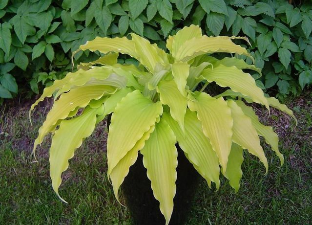 Hosta Frisian Pride (M) inspiring yellow-gold leaves reach upward, outward and back down to the ground creating a dense mound that you will see from across the garden. The edges of the leaves are rippled from the petioles down to a long pointed tip that further adds elegance to the clump