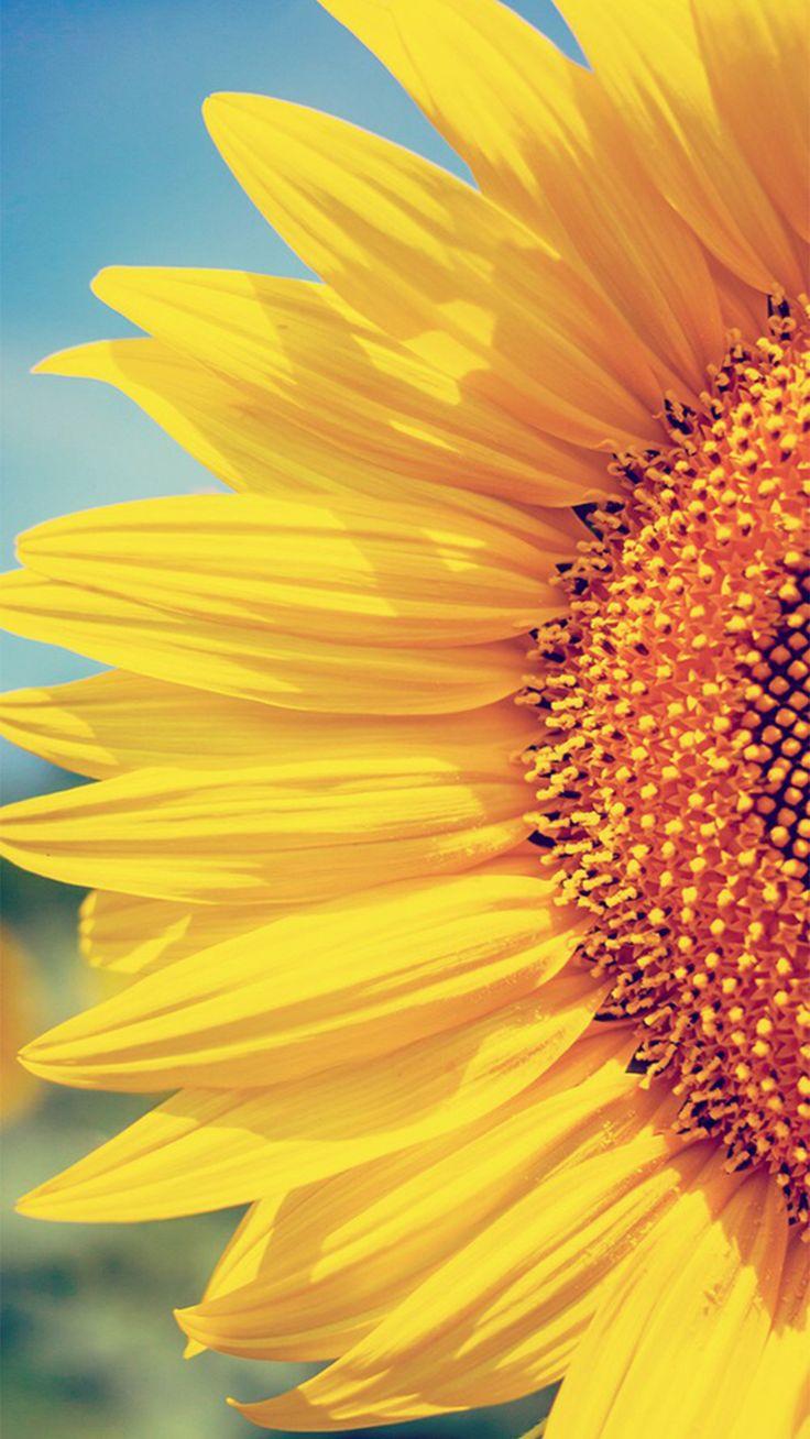 1045 best Sunflowers images on Pinterest | Sunflowers, Sun ...
