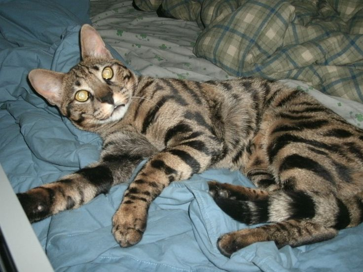 Savannah Cat Rescue #catsincarer - Care for cat at Catsincare.com!