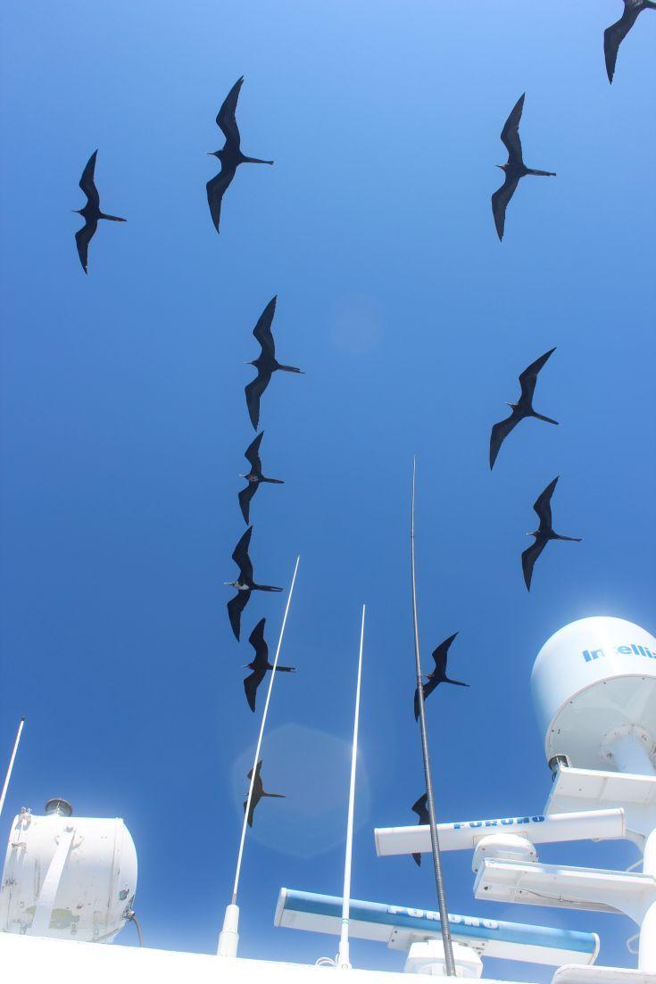 Magnificent Frigatebirds, between Isabela and Fernandina Islands