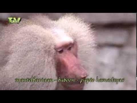 Classic clip: Meet the Bavianen - Baboon family - YouTube