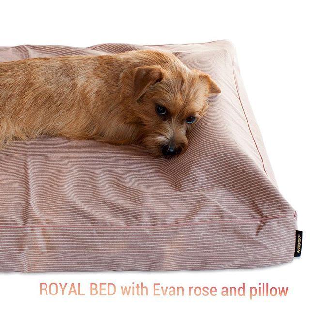 ロイヤルベッドと人気のベッドカバー「エヴァン(ローズ)」&専用まくら😴 ベッドの上ですぐに眠くなる心地よさです🛌 #アンベルソ #ノーフォークテリア #犬のベッド #ペットベッド #ペット用品 #ロイヤルベッド#norfolkterrier #norfolkterriersofinstagram #dogbed #anberso