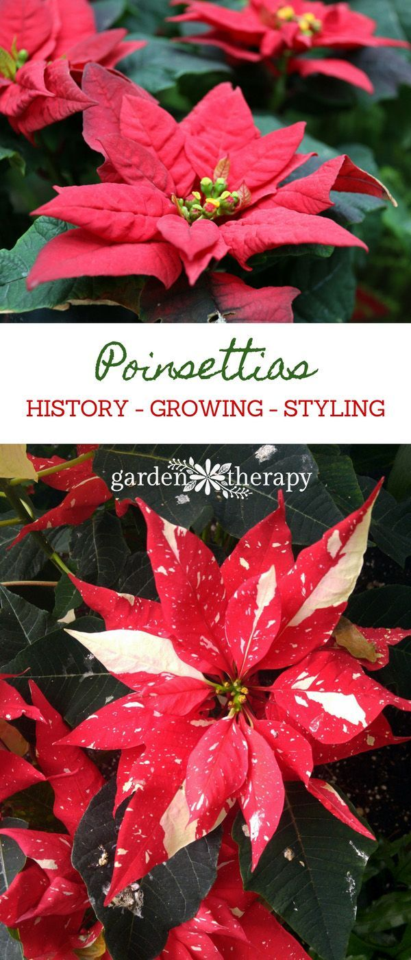Get To Know Your Poinsettias History Growing And Styling Garden Therapy Poinsettia Pretty Flowers Winter Garden